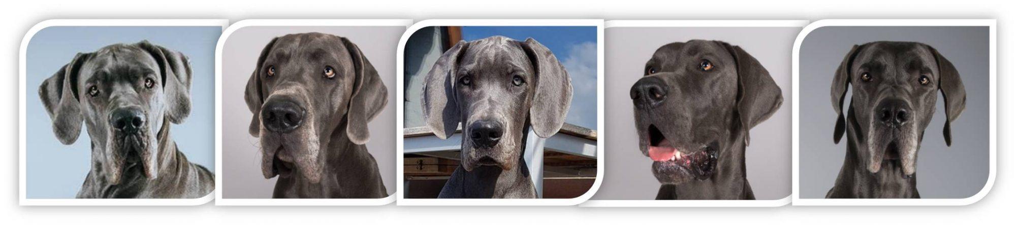 Deutsche Doggen vom Bismarckwäldchen